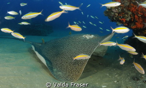 An unusual pose for a honeycomb stingray. by Valda Fraser 